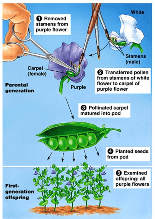 Phương pháp nghiên cứu di truyền của Menđen
