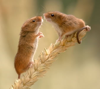 Nhân bản và chuyển gen chuột