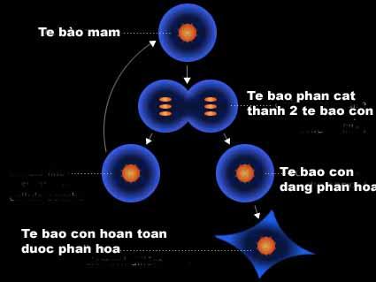 Tìm hiểu về tế bào mầm