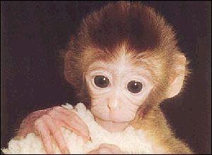 Tetra, khỉ nhân bản