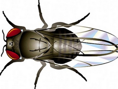 Di truyền học và ruồi giấm