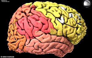Hình ảnh 3D cấu trúc gene trên não người